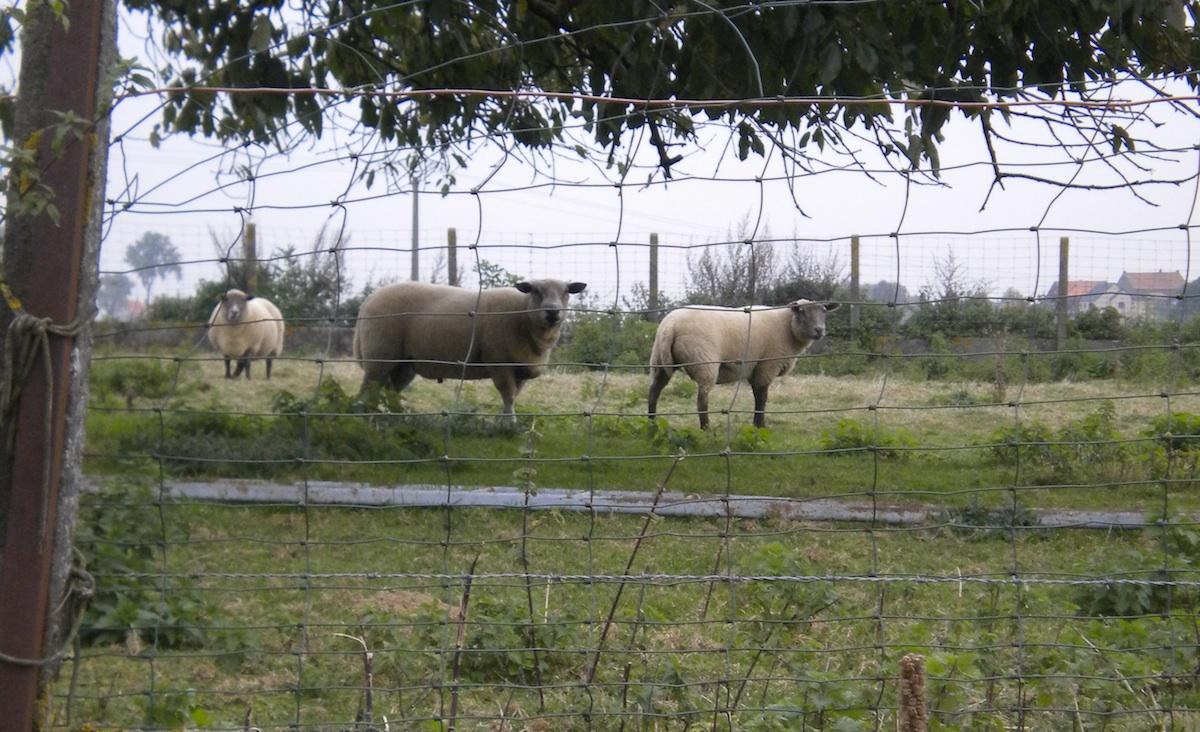 sheep1200